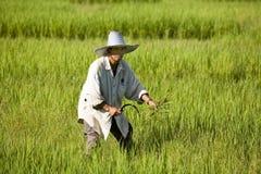 Work on the rice field Stock Photo