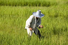 Work on the rice field Stock Photography