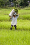 Work on the rice field Stock Photos