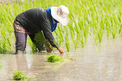Work in rice field Stock Photos
