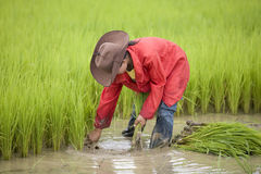Work on the rice field, Laos Royalty Free Stock Photography