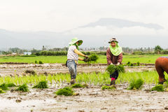 Work in rice field Royalty Free Stock Photo