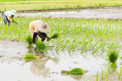 Work in rice field Stock Photo