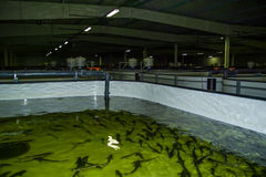 The work of the sturgeon plant in the Kaluga region of Russia. stock image
