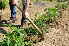 Work in a tomatoes cultivation Royalty Free Stock Photo