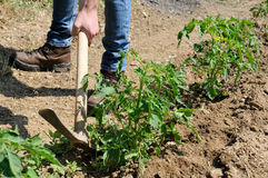 Work in a tomatoes cultivation Royalty Free Stock Photography