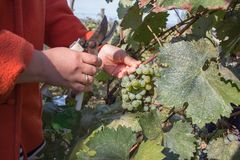 Work on vineyards during harvest. Close up of Worker`s Hands Cutting White Grapes from vines during wine harvest in Georgian Vine. Yard. Wine concept stock photo