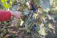 Work on vineyards during harvest. Close up of Worker`s Hands Cutting White Grapes from vines during wine harvest in Georgian Vine. Yard. Wine concept stock image