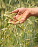 Work-worn hand of the farmer. Picture shows how the work-worn farmer's hand caresses the shoots of wheat Stock Photo