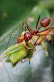 The Worker. An ant working by biting off scraps of materials from a plant Royalty Free Stock Image
