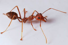 Worker Ant royalty free stock photography