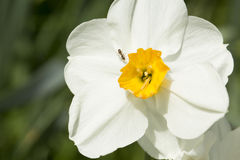Worker ant crawling across a white daffodil Royalty Free Stock Images