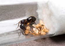 Worker Ant Feeding The Queen Royalty Free Stock Photography