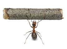 Worker ant holding log, isolated. Worker ant holding heavy log, isolated Royalty Free Stock Images