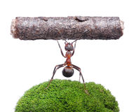 Worker ant holding log, isolated on white Royalty Free Stock Image
