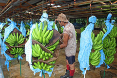 Worker at Banana factory in Costa Rica, Caribbean Royalty Free Stock Photos