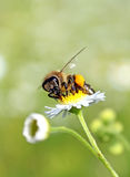 Worker bee. With yellow pollen Stock Photos