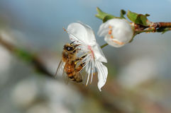 Worker bee. And white flower of spring time Royalty Free Stock Photos