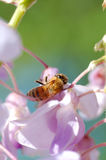 Worker bee Stock Image