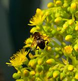 Worker bee on aeonium  flowers. Worker bee on small flowers of aeonium Stock Photography