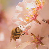 Worker Bee on Cherry Blossoms Royalty Free Stock Photo