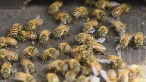 Worker bee closeup. stock video