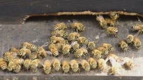 Worker bee closeup. stock footage