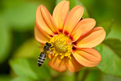 Worker Bee. A worker bee collecting nectar from a Dahlia flower stock image