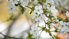 Worker bee collecting pollen on the blooming cherry tree stock video footage