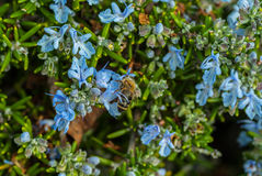 A worker bee collecting pollen for the hive Stock Image
