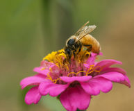 Worker bee collecting pollen from pink flower Royalty Free Stock Photo