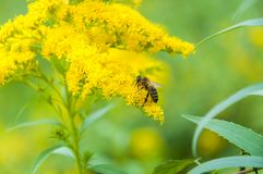 Worker bee collects nectar from a Goldenrod wildflower. Goldenrods are very common wildflowers. All Goldenrods are late bloomers, flowering in late Summer into Royalty Free Stock Photography