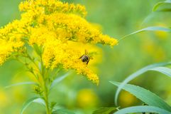 Worker bee collects nectar from a Goldenrod wildflower. Goldenrods are very common wildflowers. All Goldenrods are late bloomers, flowering in late Summer into Royalty Free Stock Photos