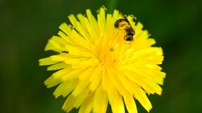 Worker bee collects pollen on yellow dandelion flower stock video