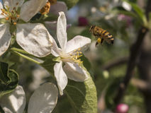 Worker bee comes flying on the flower Stock Images
