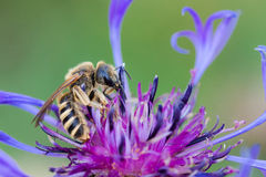 Worker bee on a flower Stock Photography