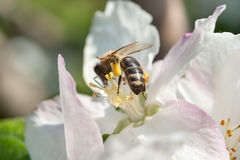A worker bee on a flower Royalty Free Stock Image