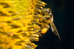 Worker bee gathering nectar from sunflowers. Stock Photo