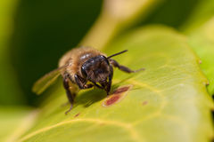 A worker bee on a leaf Royalty Free Stock Images