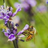 Worker Bee on Lupine Royalty Free Stock Photography