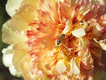 Worker bee on peony flower. Common bee attracted to yellow bloom and pollen on peony flower Royalty Free Stock Photos