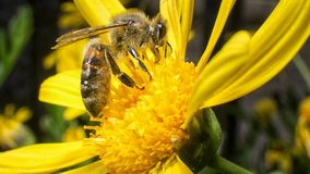 Worker bee working on pollination. Worker bee performs pollination of plants Royalty Free Stock Images
