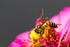 Worker bee on red flower Royalty Free Stock Image