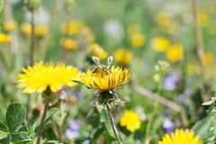 Worker bee on the yellow dandelion Royalty Free Stock Images