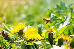 Worker bee on the yellow dandelion Royalty Free Stock Photos