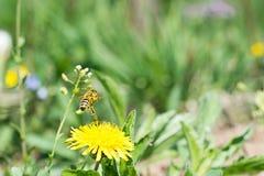 Worker bee on the yellow dandelion Stock Photo