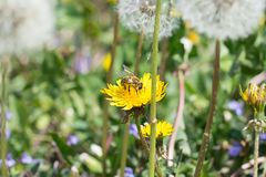 Worker bee on the yellow dandelion Royalty Free Stock Photo