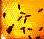 Worker bees. On a honeycomb Royalty Free Stock Image