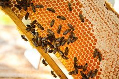 Worker bees. On the honeycomb Stock Image