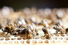 Worker bees. On the honeycomb Stock Photo